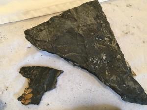 Fern Fossils h